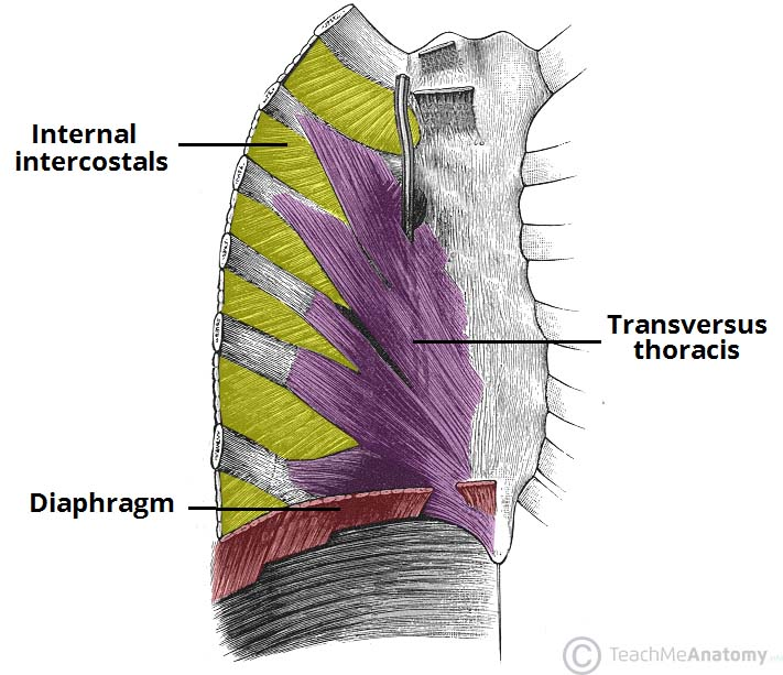diagram of rib cage and muscles yamaha outboard wiring thoracic attachments actions teachmeanatomy fig 2 view the internal aspect wall intercostal transverse thoracis are visible