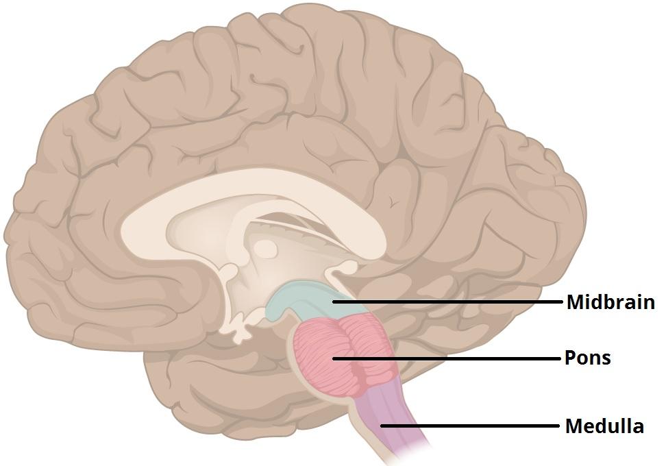 brain diagram pons er for insurance company the function location vasculature teachmeanatomy figure 1 three major parts of brainstem