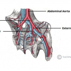 Vascular Anatomy Diagram Lower 2001 Jeep Tj Stereo Wiring Arteries Of The Pelvis Internal Iliac Pudendal Vesical Figure 1 Bifurcation Common Artery Into And External Branches