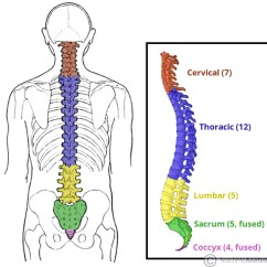 Cervical Vertebrae Diagram 3 Way Switch Wiring Power At Light The Vertebral Column Joints Structure Fig 1 Viewed From Side Five Different Regions Are Shown And Labelled