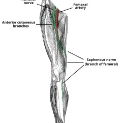Lower Leg Nerve Diagram 277 Volt Ballast Wiring The Femoral Course Motor Sensory Teachmeanatomy Fig 2 Anatomical Of And Its Two Cutaneous Branches Anterior Fibres Saphenous