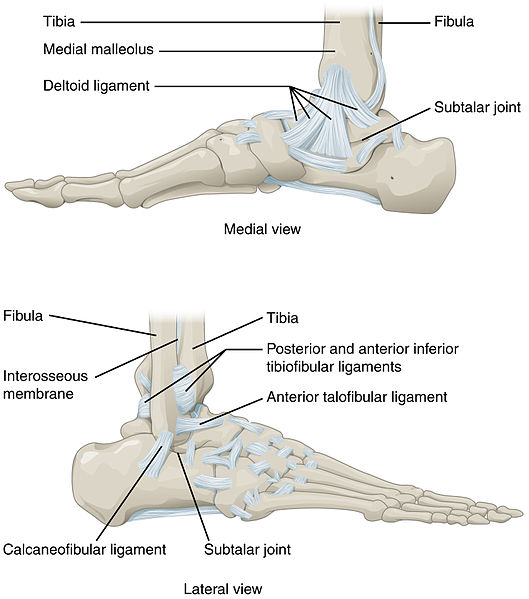 joints of the foot diagram aprilaire 600 humidistat wiring ankle joint articulations movements teachmeanatomy fig 4 ligaments