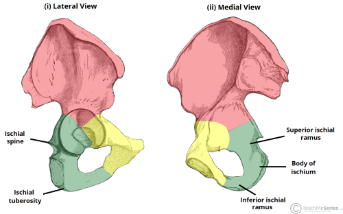 small resolution of fig 6 bony landmarks of the ischium