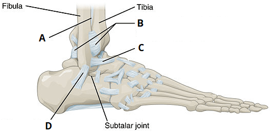joints of the foot diagram wiring for s plan heating system ankle joint articulations movements teachmeanatomy quiz
