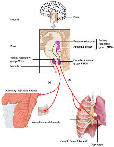 Neural Control Of Ventilation Involuntary Control