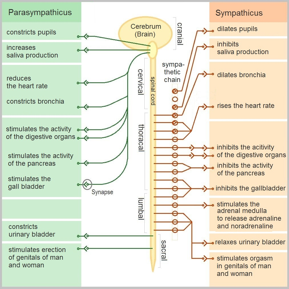 hight resolution of fig 2 functions of the sympathetic and parasympathetic nervous systems