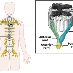 Lumbar Nerve Root Diagram Single Phase Transformer Wiring Radiculopathy Red Flag Symptoms Symptomatic Management Figure 1 The Origin Of Spinal Nerves From Cord