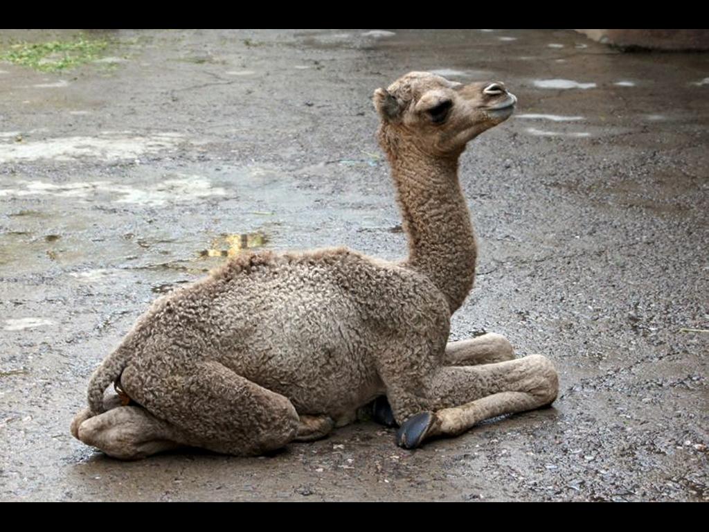 Nace dromedario en el Zoológico de  Chapultepec