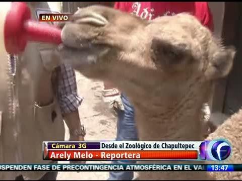 Buscan nombre para el dromedario de Chapultepec
