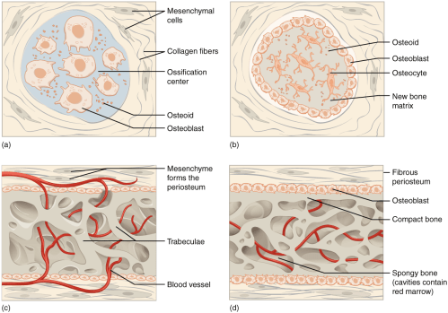 small resolution of figure 6 16 intramembranous ossification intramembranous ossification follows four steps a mesenchymal cells group into clusters and ossification