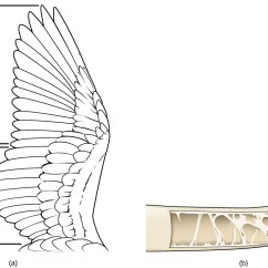 Golden Eagle Skeleton Diagram 4 Way Ball Valve Openstax Biology Concepts Ch15 Diversity Of Animals Top Hat