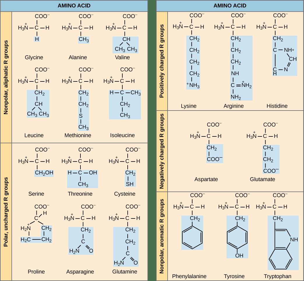 OpenStax: Biology | CH3: BIOLOGICAL MACROMOLECULES | Top Hat