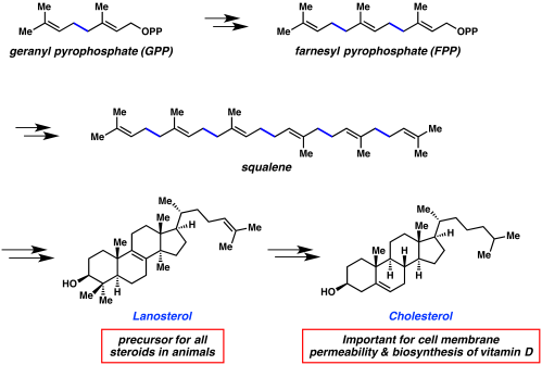 small resolution of this terpene can cyclize to form lanosterol which is a precursor to cholesterol and all steroids in animals cholesterol is important for cell membrane