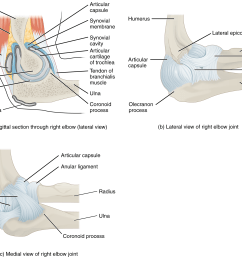 figure 9 17 elbow joint a the elbow is a hinge joint that allows only for flexion and extension of the forearm b it is supported by the ulnar and  [ 2267 x 1819 Pixel ]
