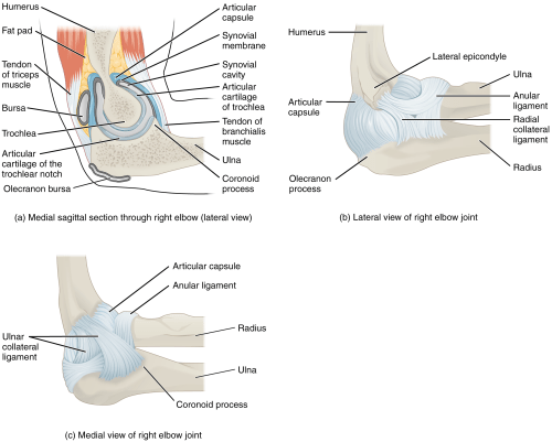 small resolution of figure 9 17 elbow joint a the elbow is a hinge joint that allows only for flexion and extension of the forearm b it is supported by the ulnar and