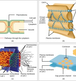 intercellular junctions [ 1115 x 896 Pixel ]