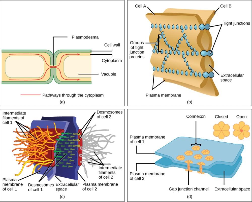 medium resolution of intercellular junctions