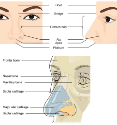 figure 22 3 nose this illustration shows features of the external nose top and skeletal features of the nose bottom  [ 1936 x 1728 Pixel ]