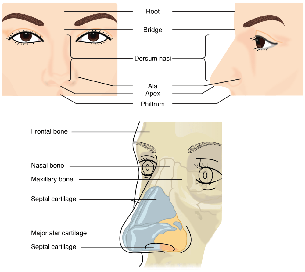 medium resolution of figure 22 3 nose this illustration shows features of the external nose top and skeletal features of the nose bottom