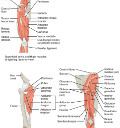figure 11 29 hip and thigh muscles the large and powerful muscles of the hip that move the femur generally originate on the pelvic girdle and insert into  [ 1713 x 2175 Pixel ]