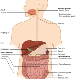 figure 23 2 components of the digestive system all digestive organs play integral roles in the life sustaining process of digestion  [ 936 x 1185 Pixel ]