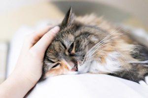 señales para saber si Cómo saber si mi gato tiene dolor