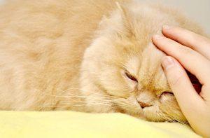 Cómo saber si mi gato tiene dolor