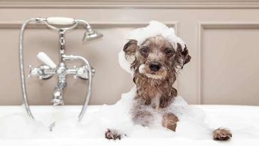 terapia con champú en perros