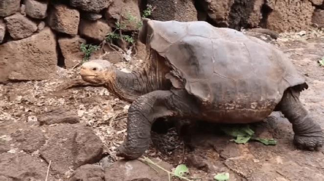 Diego es la tortuga gigante de la isla española que vivo en Estados Unidos y que tras su regreso al archipiélago ecuatoriano de Galapos, ayudo a salvar a su especie al procrear 800 hijos.