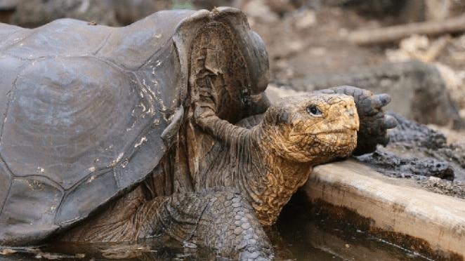 la tortuga que salgo a su especie de la extinción