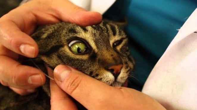 leucemia felina tratamiento