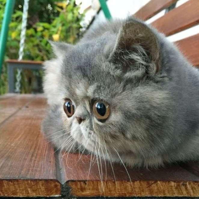 como cuidar la raza de gatos exóticos
