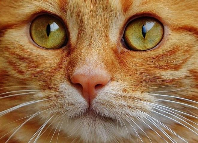Qué es su agudeza visual anatomía de los gatos en los ojos