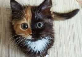 Venus el gato de dos caras