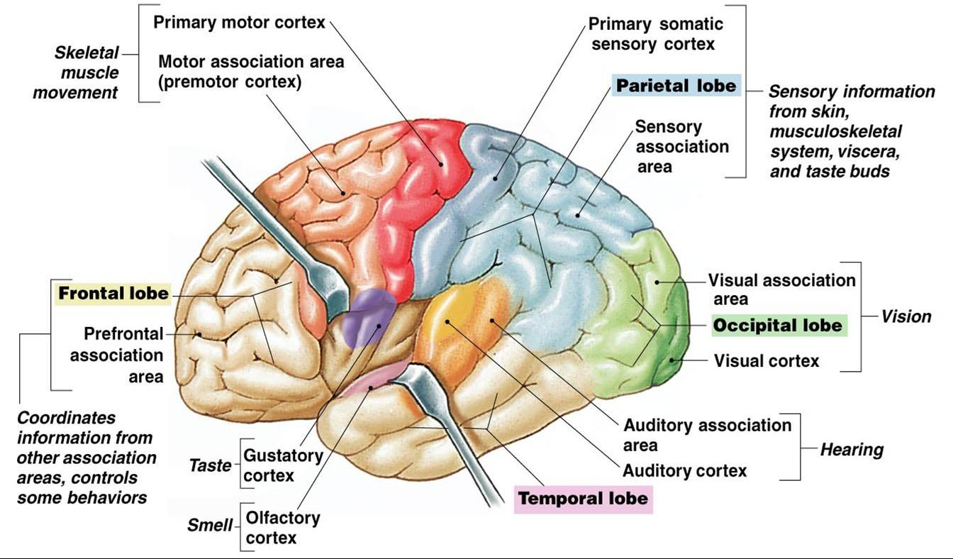 What Area Of The Brain Gives Us Sense Of Smell The Cerebrum Cerebellum Or Brain Stem