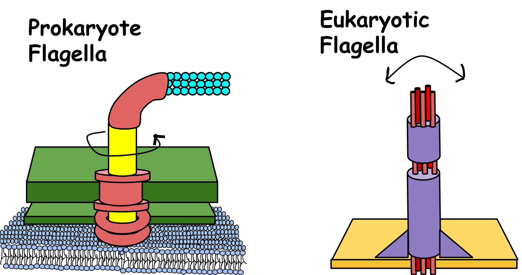 hight resolution of this motion in eukaryotic cells is powered by atp in prokaryotic cells the movement of flagella is powered by a proton gradient