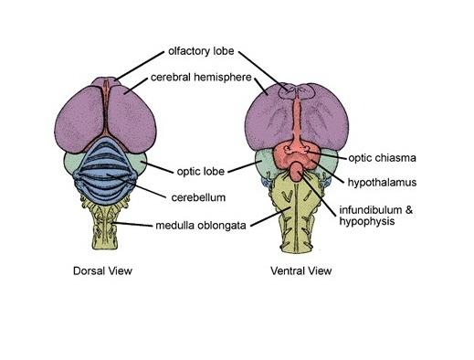 eagle anatomy diagram 3 gang light switch wiring bald brain enam stanito com free for you u2022 rh ecosystem