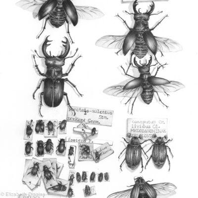 Elizabeth Diggins Natural History Artist