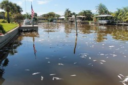 Dead fish floating in a canal in Cocoa Beach./Photo by: Amy Green