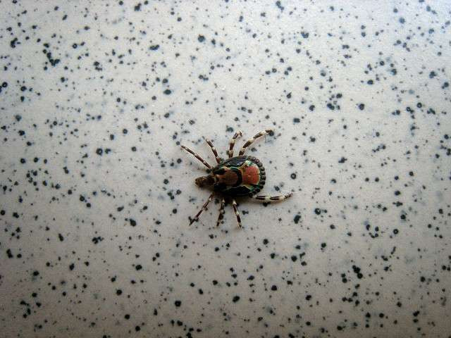 Lyme disease is on the rise in Florida. Photo: Flickr Creative Commons