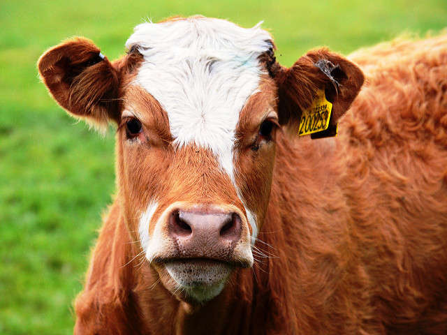Cows can contract the disease, like people, by eating contaminated meat products. Photo: Flickr Creative Commons