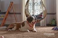 Pet-Friendly carpet from STAINMASTER - Coles Fine Flooring