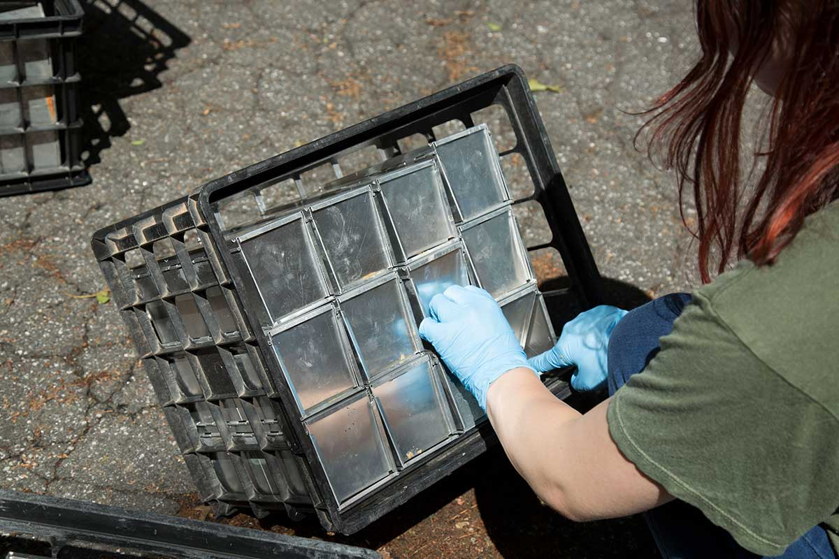 Researchers at the Connecticut Agricultural Experiment Station set traps for white footed mice in New Haven, Connecticut.