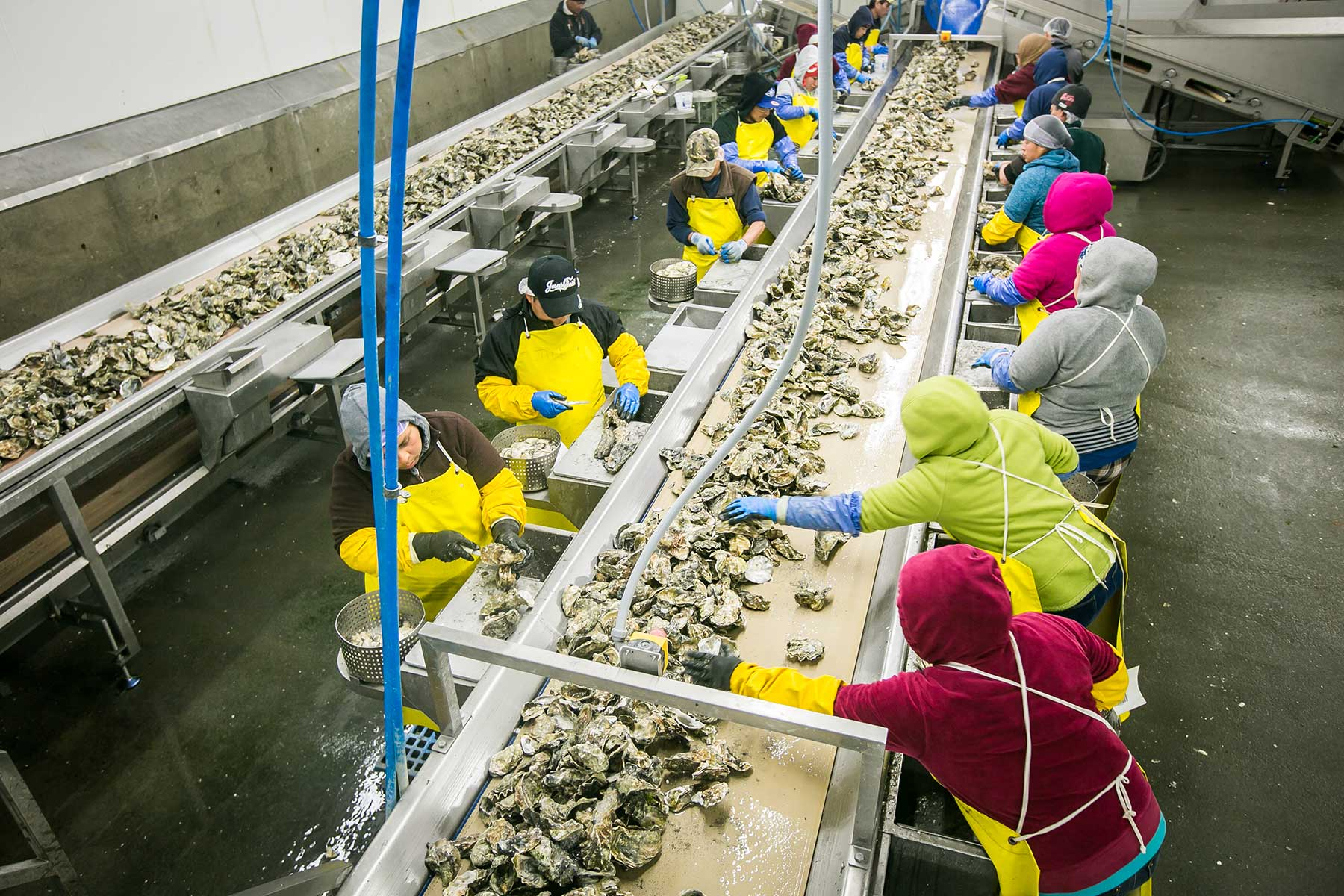 Workers shuck oysters at the Taylor Shellfish processing facility in Shelton, Washington. The shellfish industry directly and indirectly employs more than 3,200 people in Washington alone.