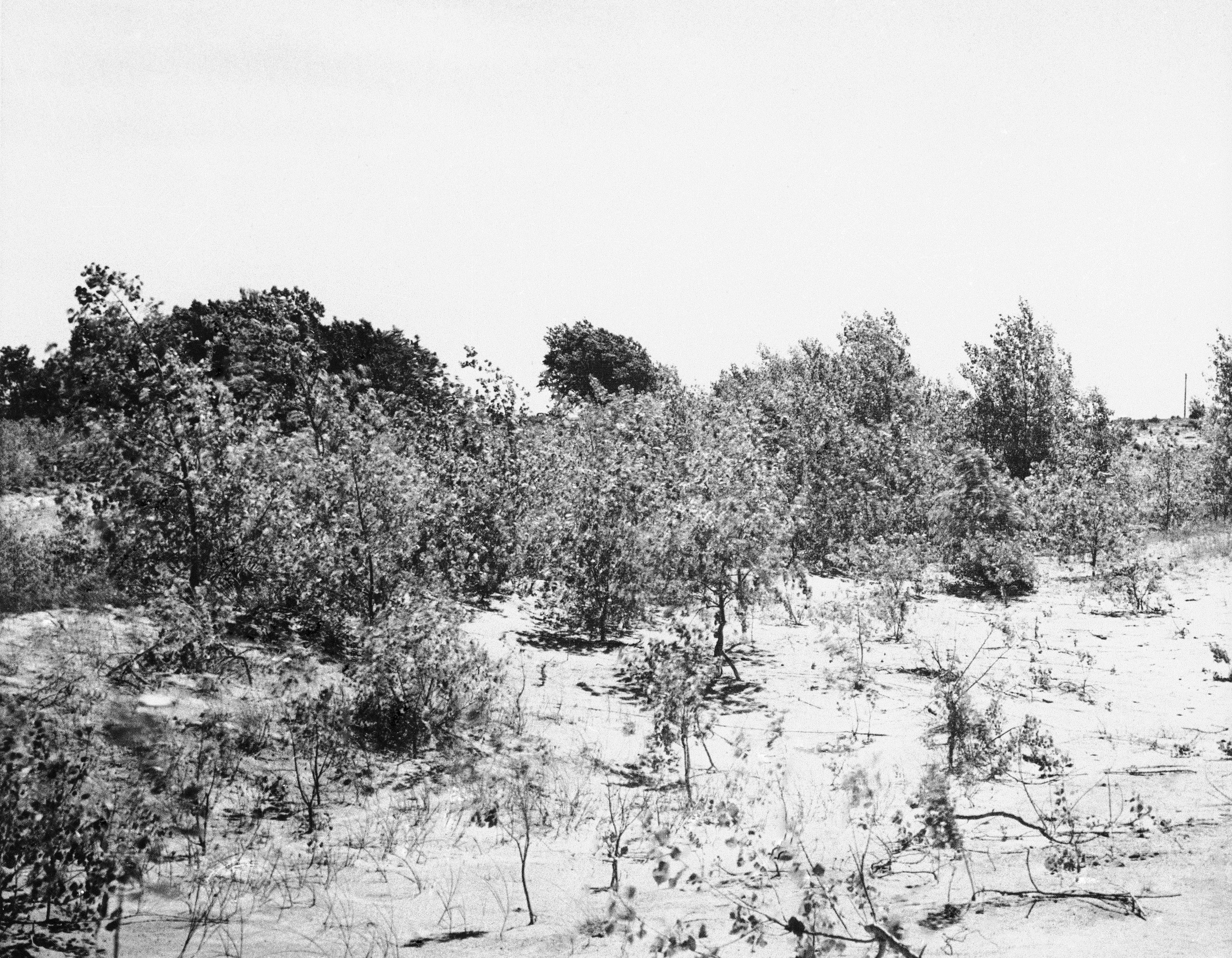 Cottonwood trees in Neligh, Nebraska, 1939. The trees were planted in 1938 and patches of weeds and grass are coming up and gradually improving the parched land. (AP Photo)