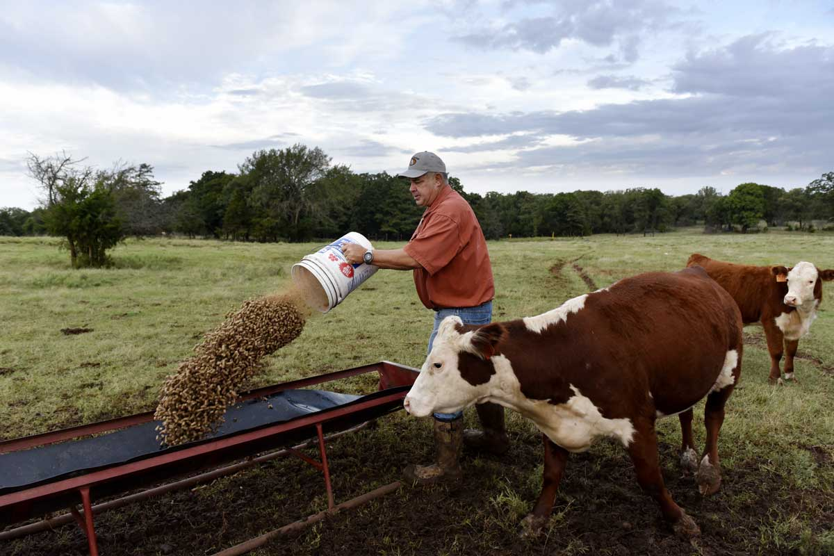 John Boyer feeds his cattle on his farm in Stillwater. Boyer still feeds his herd by hand every day rather than operating a large feed truck.