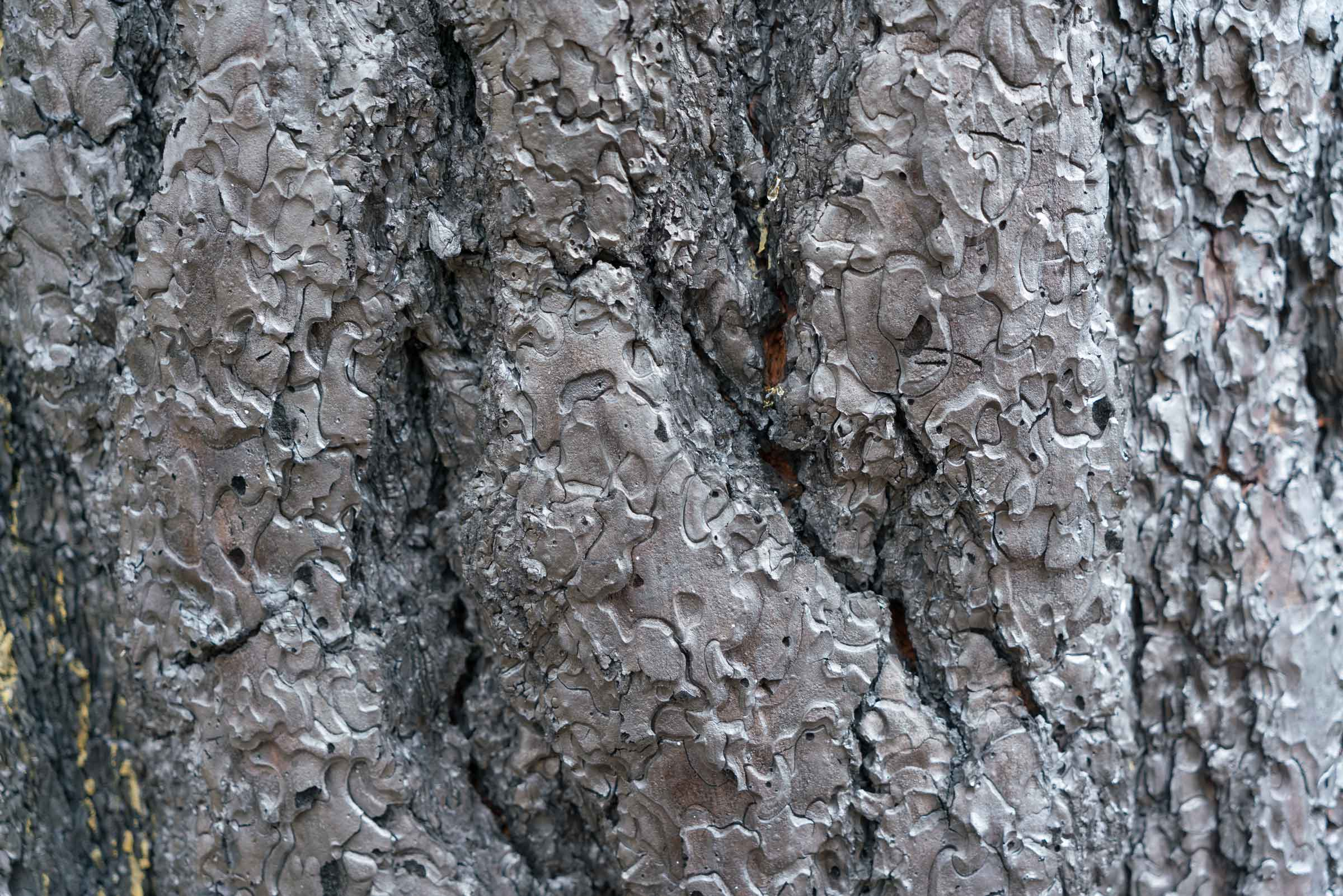 A close-up image of Ponderosa pine bark burned in a megafire south of John Day in 2015. Despite the lush reputation of the Pacific Northwest among the rest of the nation, wildfires are part of the summertime reality in eastern Oregon – and the threat is worsening for the west slope of the Cascades and the Coast Range, Paul Hessburg warns. (Adam Bacher)