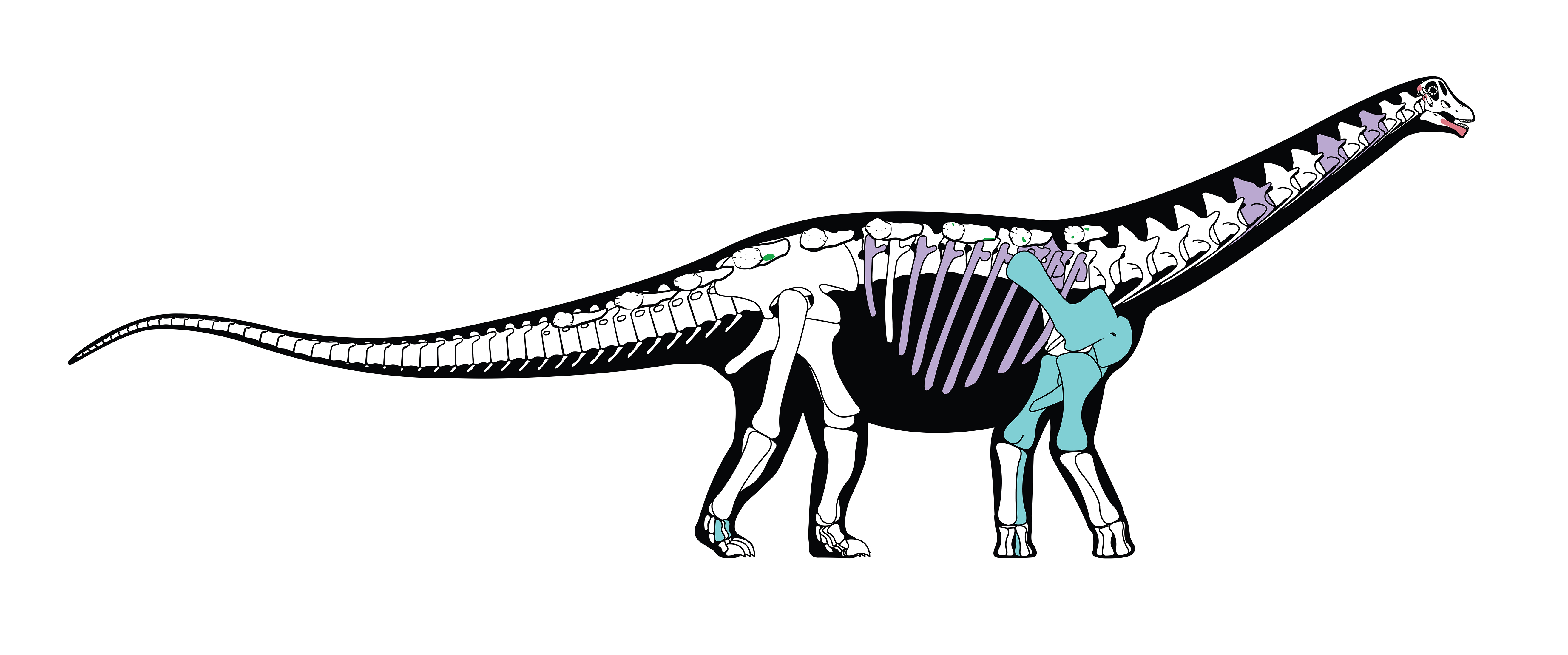 Mansourasaurus- A story from the land of Pharaoh and