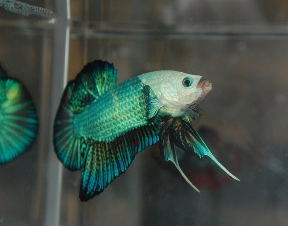 7 Jenis Ikan Cupang Hias Terbaik untuk Dipelihara | BukaReview