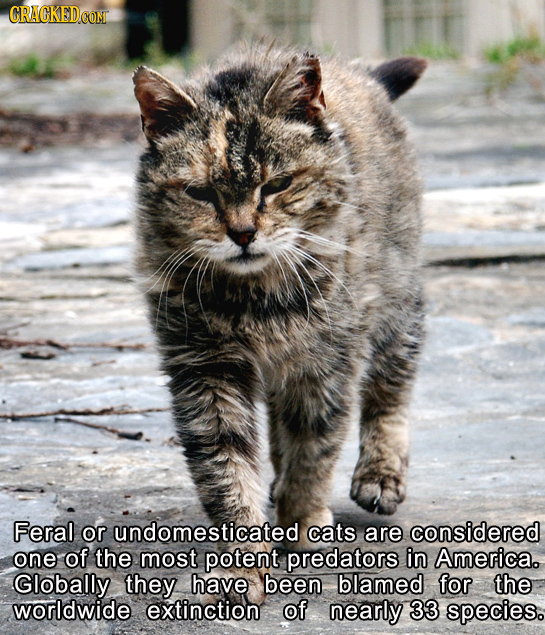 Feral or undomesticated cats are considered one of the most potent predators in America. Globally they have been blamed for the worldwide extinction o